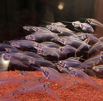 Индийский стеклянный сом (Kryptopterus bicirrhis) 6 - 7